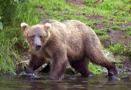 Mother Grizzly, Wolverine Creek, Alaska