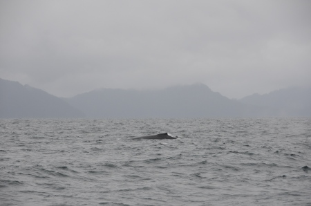 A humpback whale surfaces in Resurrection Bay.