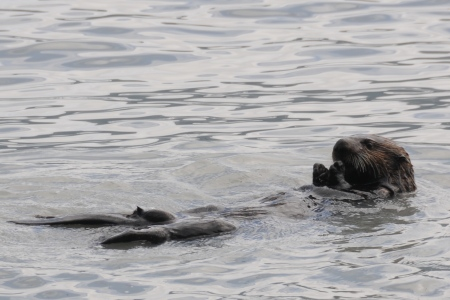A sea otter feeds on mussels in Resurrection Bay.
